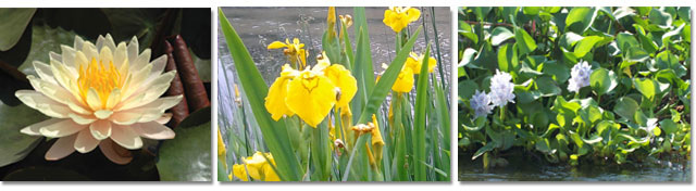All Seasons Weed Control in Northern CA - Invasive aquatic weeds - Water Lily, Japanese Iris, and Water Hyacinth