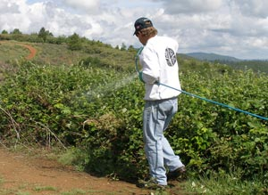 All Seasons Weed Control - Eradicating Blackberries in Nevada County