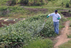All Seasons Weed Control - Spraying blackberries