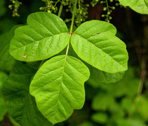 All Seasons Weed Control - Poison Oak leaf