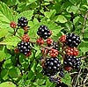All Seasons Weed Control - blackberries control and eradication in Nevada County, Northern California