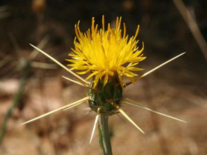 All Seasons Weed Control - Yellow Starthistle
